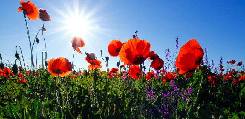 Red poppies in a wildflower field on a beautiful sunny day, illustrating a piece on hayfever